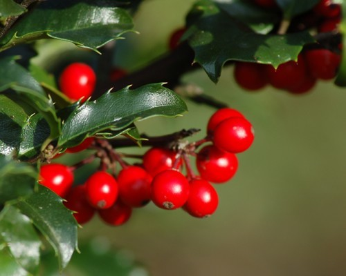American Holly Berries