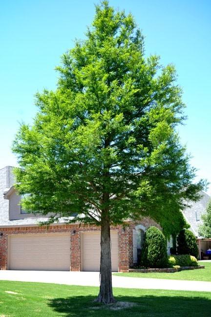 Adolescent Bald Cypress Tree