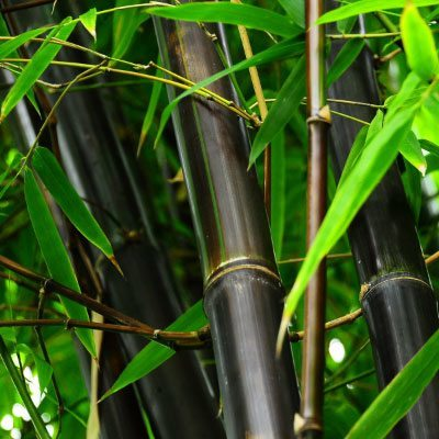 Black Bamboo Closeup