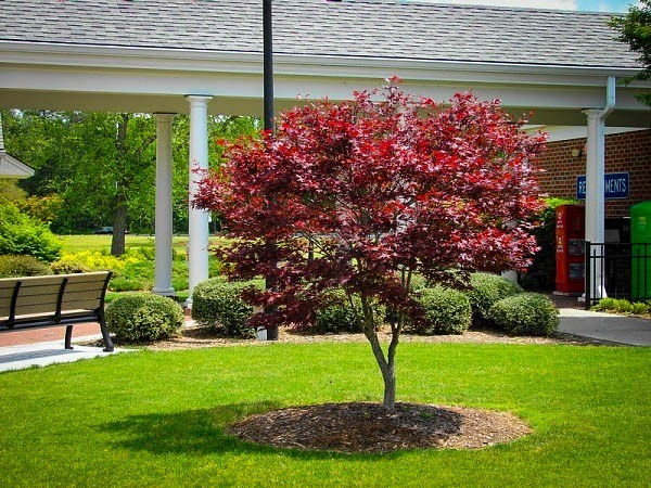 Young Bloodgood Japanese Maple Tree