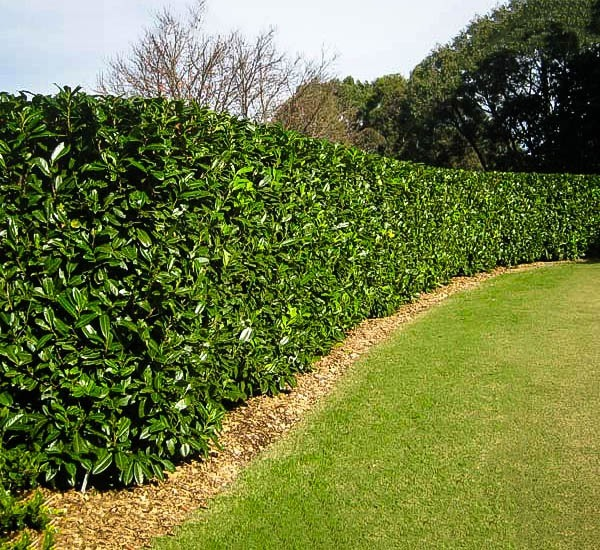 Cherry English Laurel Hedge