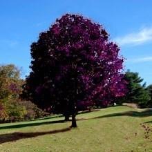 Crimson King Maple Tree In Field