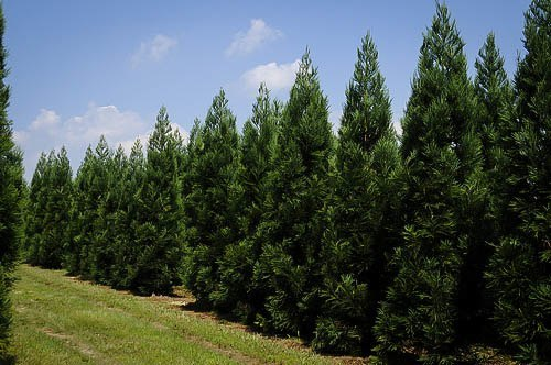 Cryptomeria Radians Row