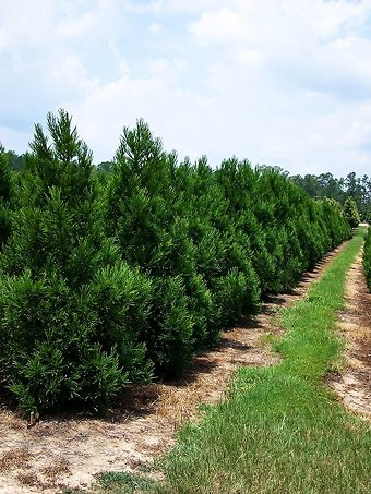 Cryptomeria Radicans in a row