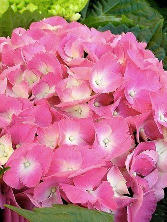 Endless Summer Hydrangea Pink
