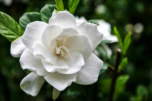 Frost Proof Gardenia Flower