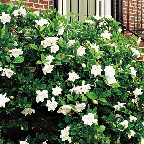 Frost Proof Gardenia Hedge