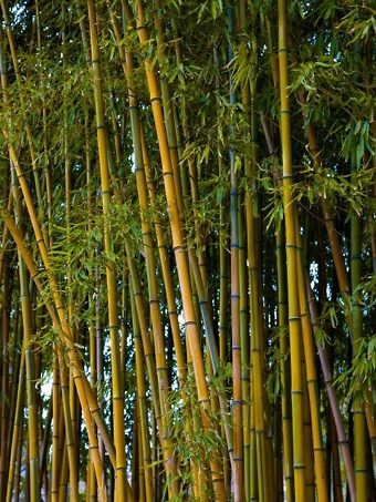 A Golden Bamboo Privacy Screen