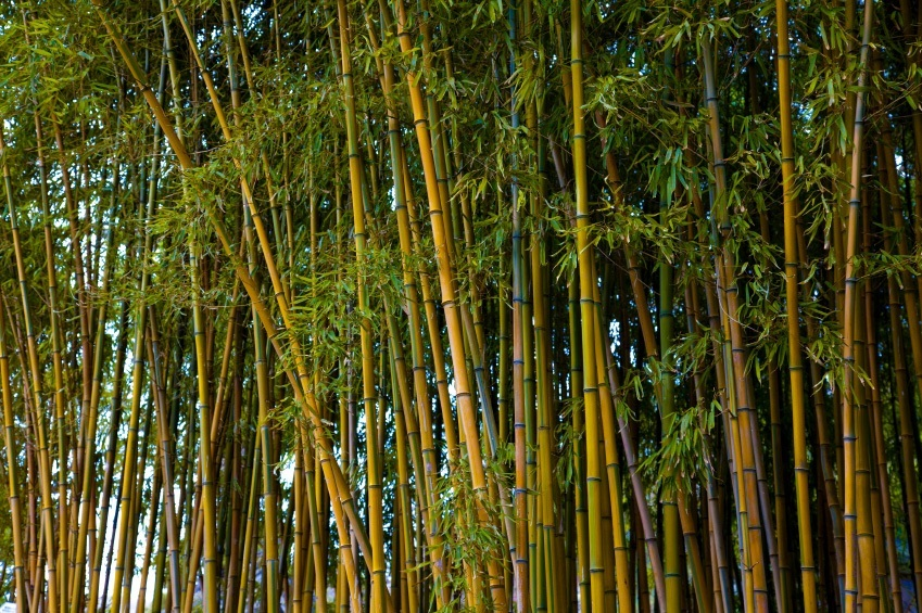 A Golden Bamboo Privacy Screen