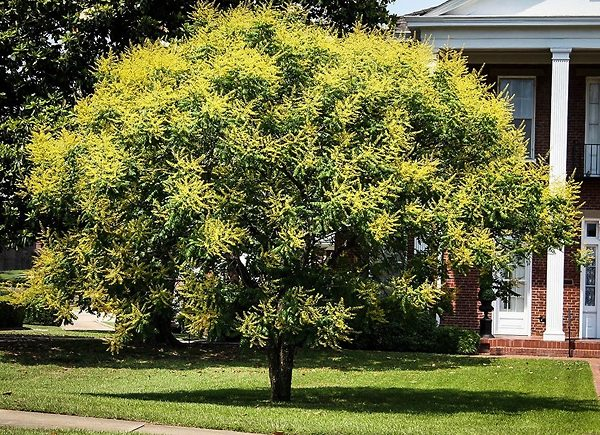 Golden Raintree in Front Yard