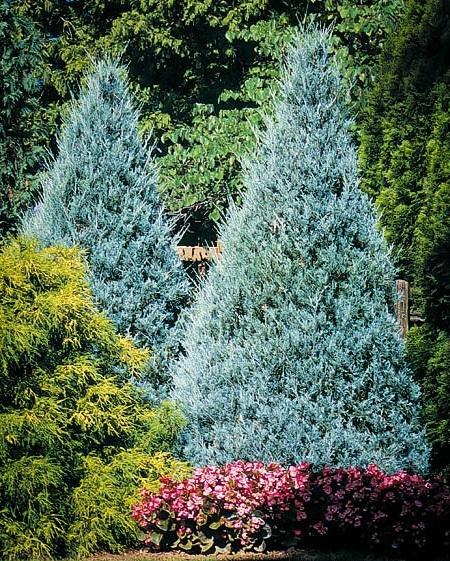 2 Juniper Wichita Blue Trees