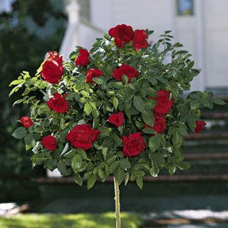 24-inch Knockout Rose Tree