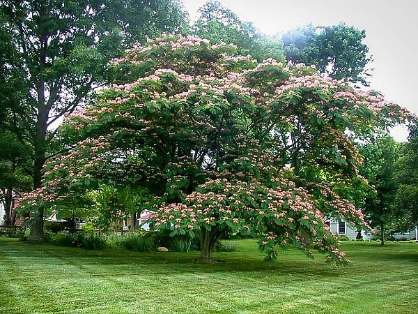 Mature Mimosa Tree In Full Bloom