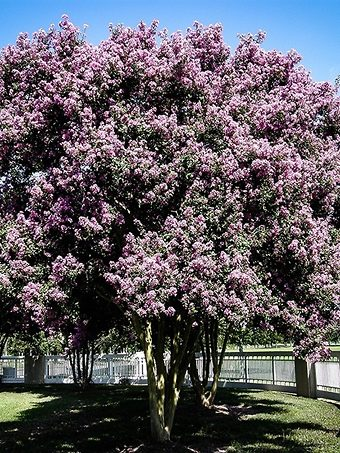 Muskogee Crape Myrtle in Bloom