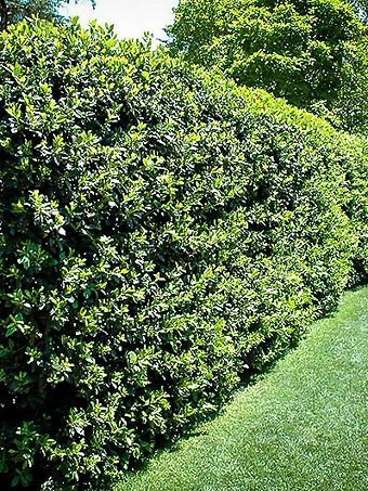 Nellie Stevens Hedge Privacy Screen