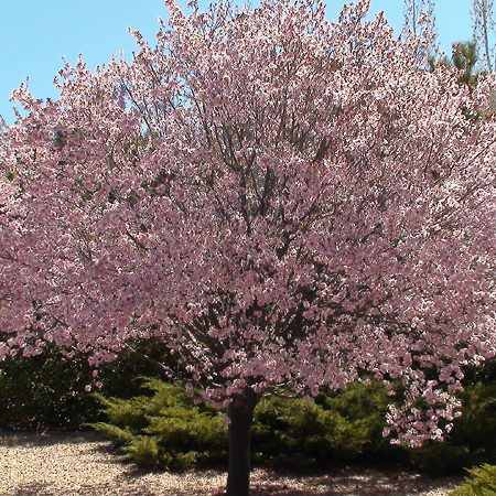 Flowering Plum Trees