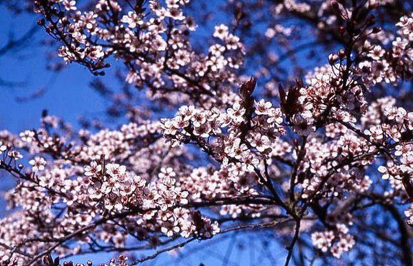 Newport Flowering Plum Flowers