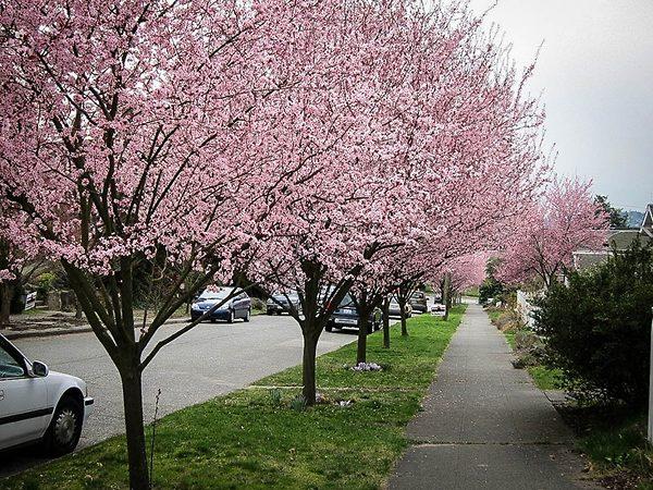 Row of Newport Flowering Plum Trees