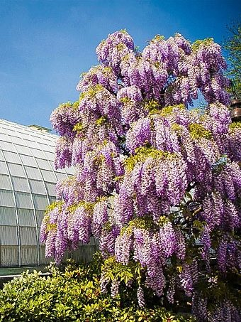 Purple Wisteria Tree in Bloom
