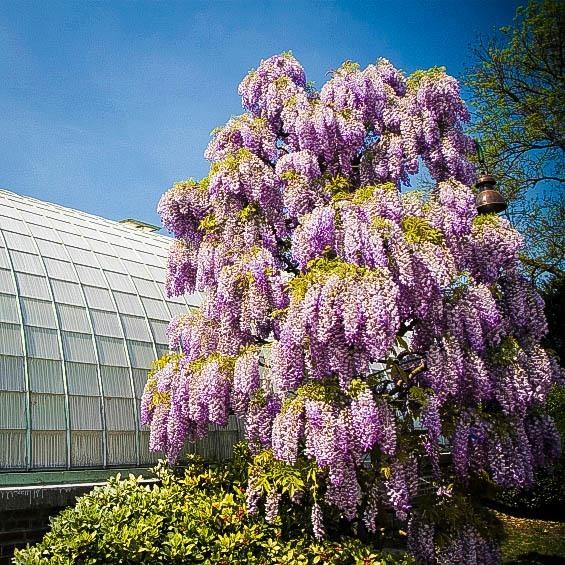 Purple Wisteria Tree in Bloom