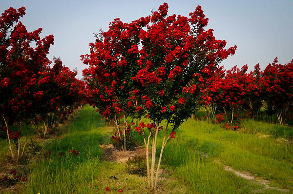 Red Rocket Crape Myrtle Farm