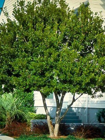 Wax Myrtle Tree in Full Sun