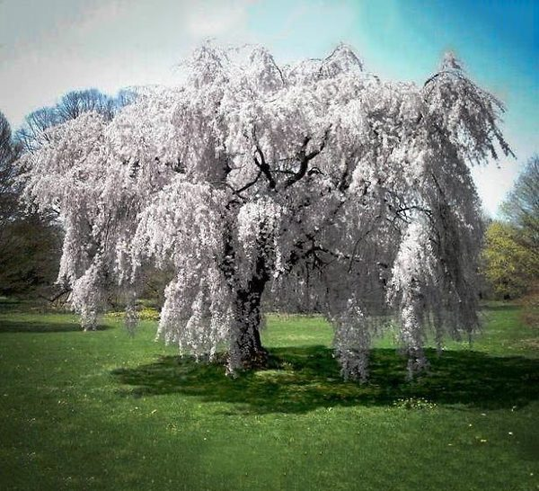 Mature White Weeping Cherry Tree