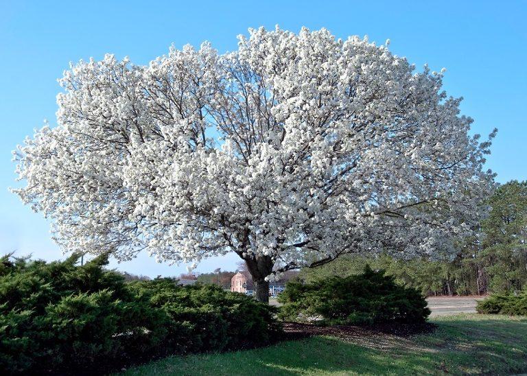 Fully Mature Dogwood Tree