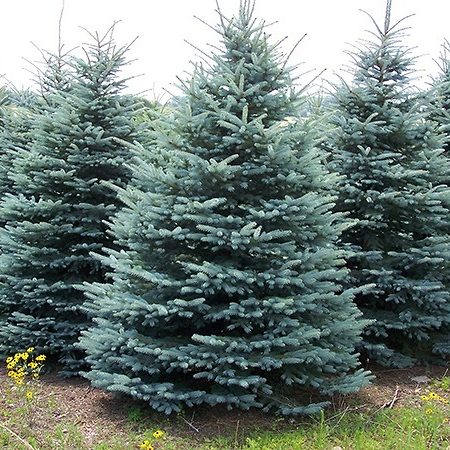 Spruce Trees