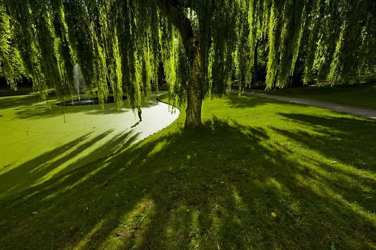 Weeping Willow Tree On Golf Course