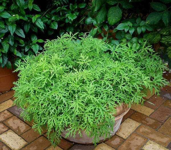 Citronella Mosquito Repellant Plant