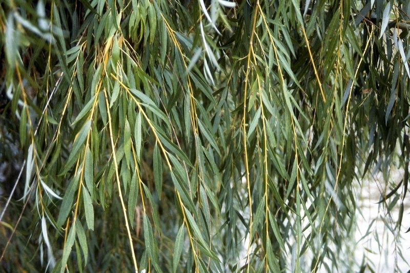 Buy Weeping Willow Trees Online The Tree Center,Best Cheap Champagne For Wedding Toast