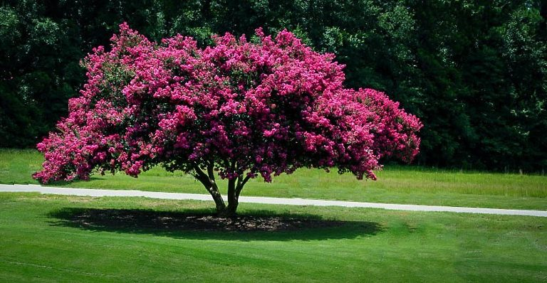 Crepe/Crape Myrtle Tree
