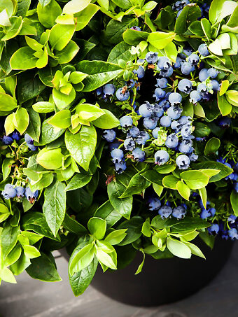 Price includes 2 plants free shipping Details about  /Blueberry Starter Plant ~ Sunshine Blue..