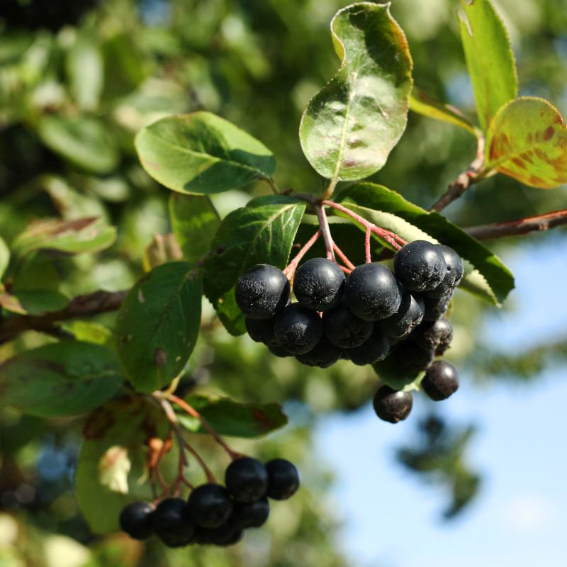 Buy Aronia Black Chokeberry | The Tree Center