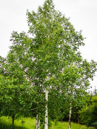 Dura Heat River Birch Trees For Sale The Tree Center