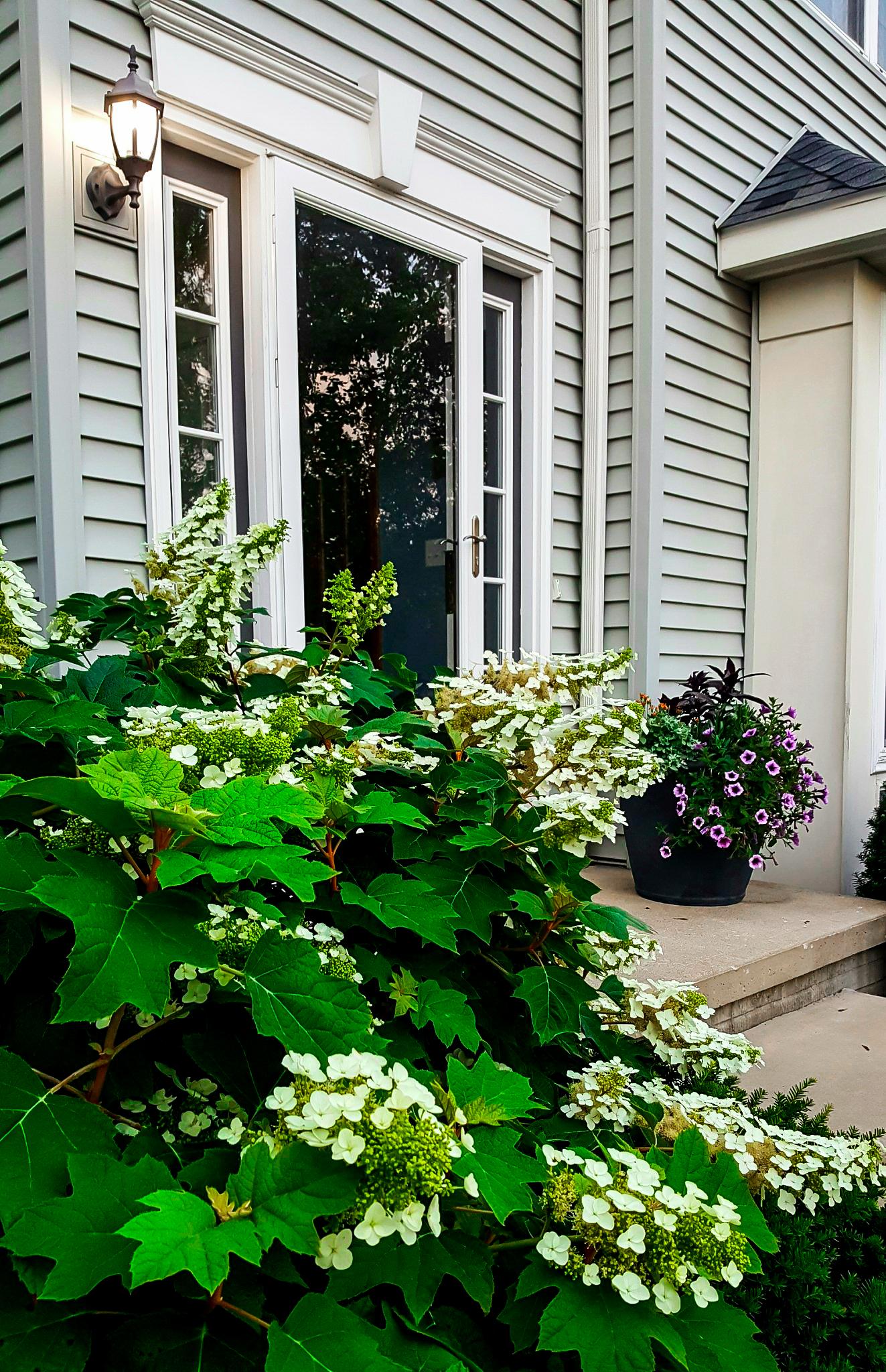 Alice Oakleaf Hydrangeas For Sale Online The Tree Center