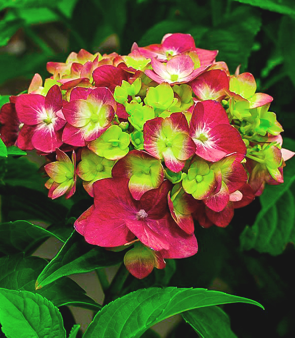 Pistachio Hydrangea For The Tree
