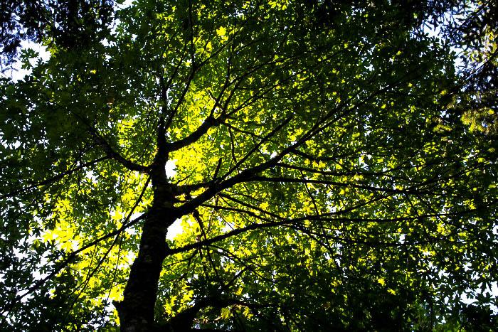 Native Shade Tree