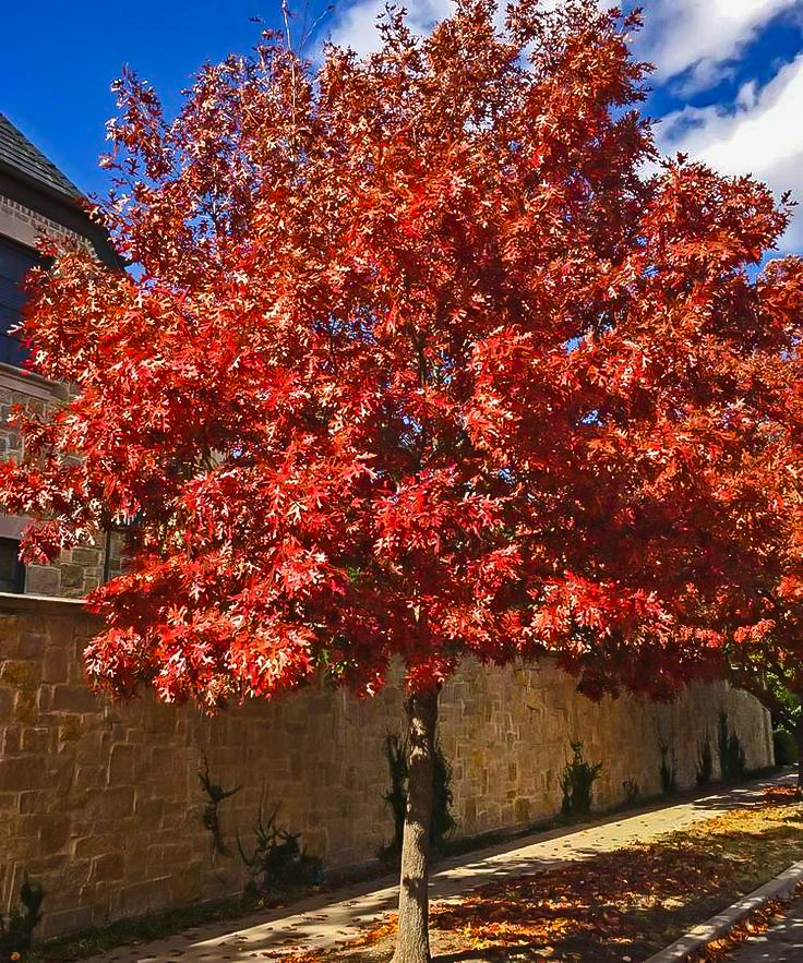 Shumard Red Oak Trees For Sale Online | The Tree Center