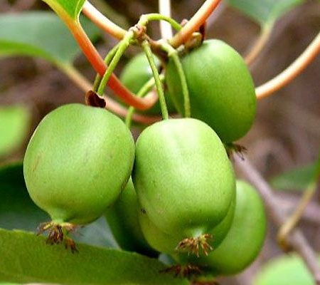 Kiwi Plants