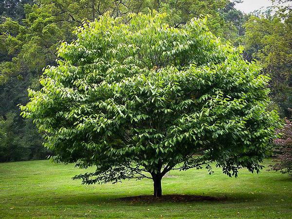 American Hornbeam Tree