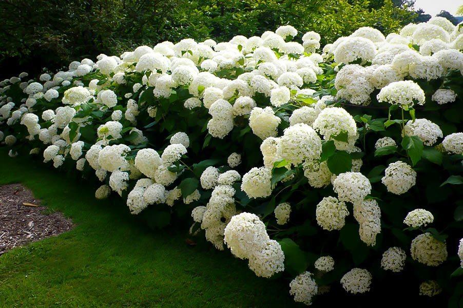 Palla Hortensie strong Annabelle 40-60cm Hydrangea arborescens