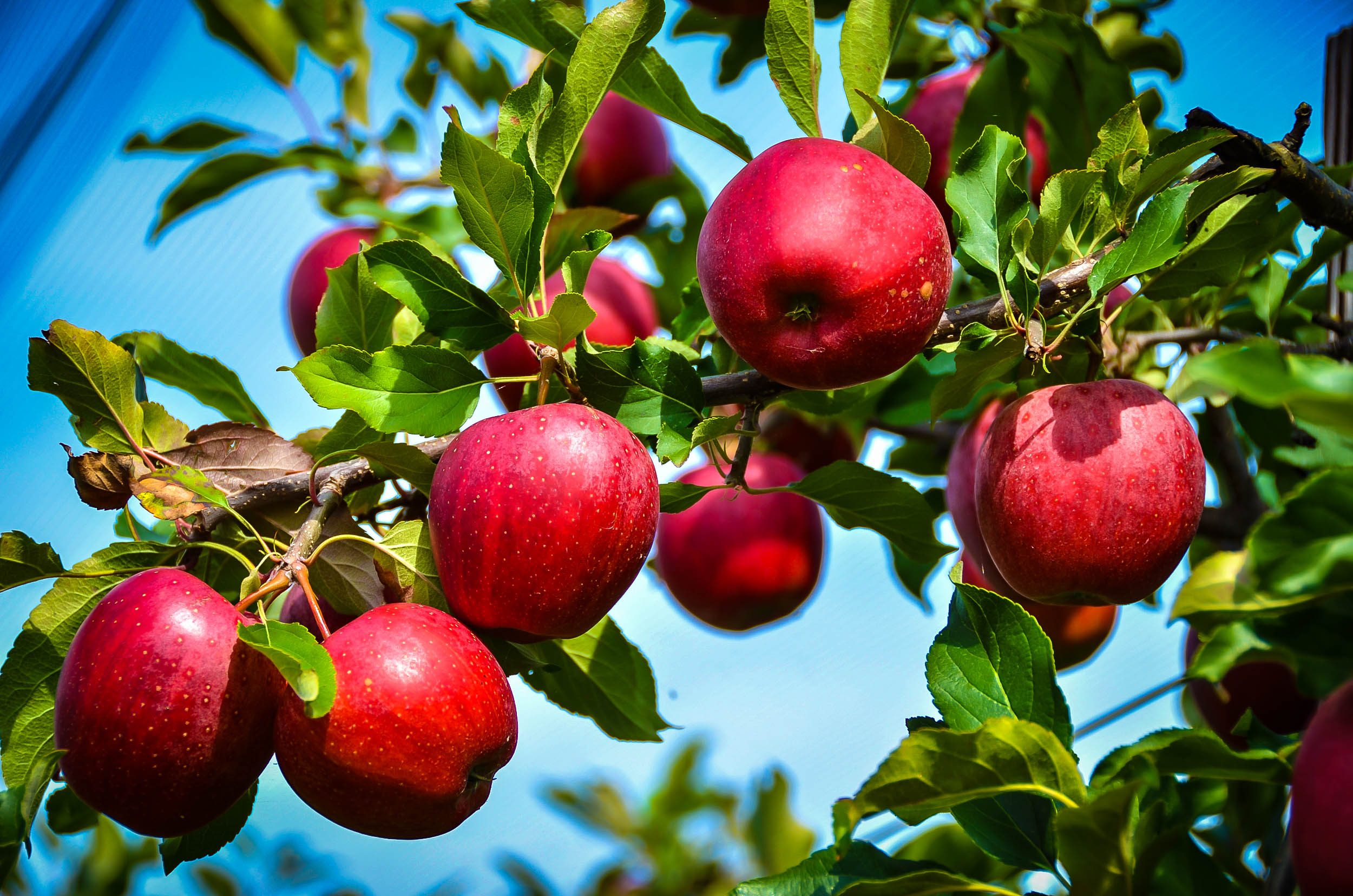 Rome Beauty Apple Trees For Sale Online | The Tree Center