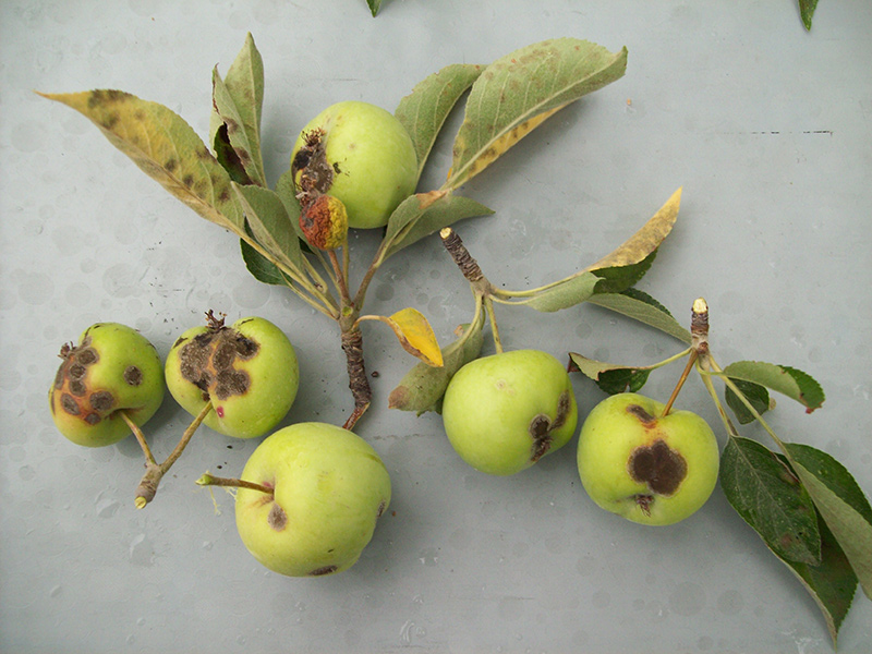 Apple Tree Disease