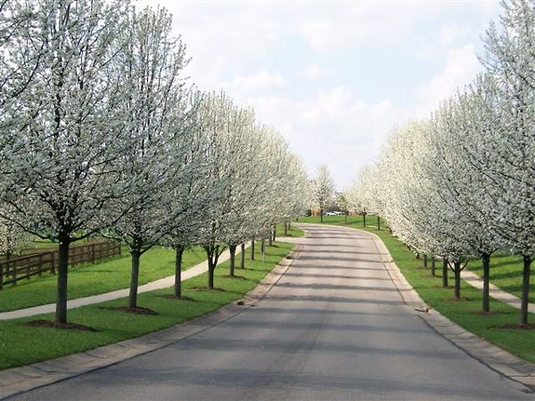 Blooming Aristocrat Pear Trees Driveway