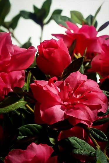 Autumn Rouge Encore Azalea