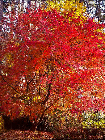 Beni Komachi Japanese Maple