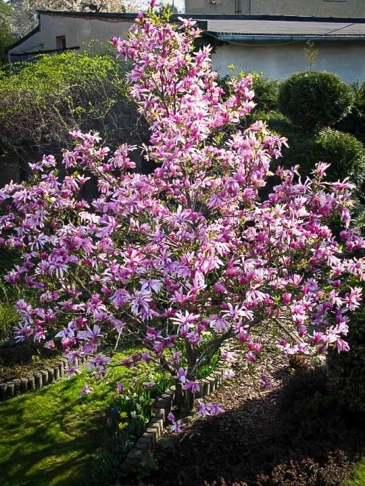 Adolescent Betty Magnolia Tree