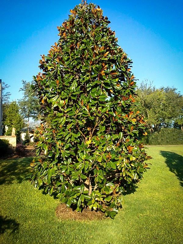 Blanchard Magnolia Tree